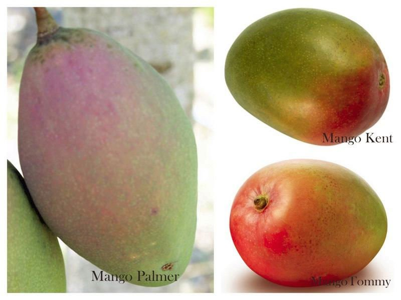 Quality of Mango