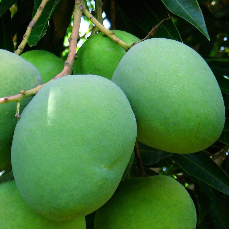 kns-mango