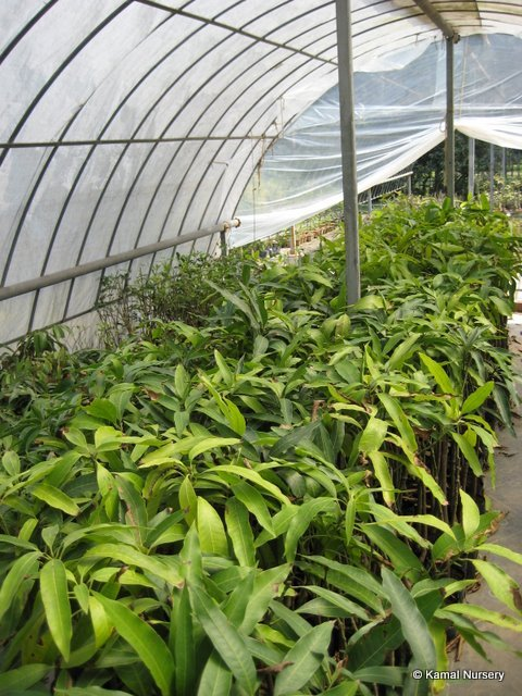 Mango varieties(Grafted hybrid)