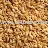 Gandum (Wheat)