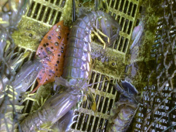 UDANG CAKREK  shrimp
