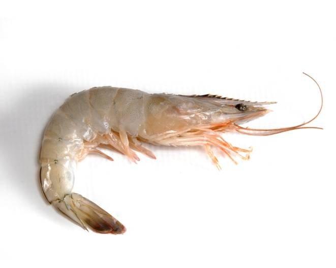 Shrimp Penaeus Vannamei