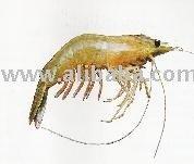 Penaeus indicus