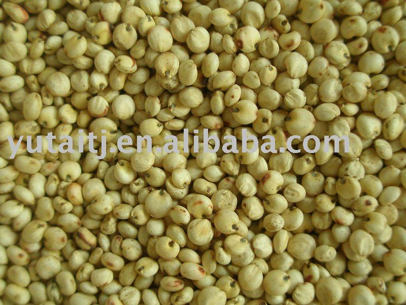 White sorghum for bird feed