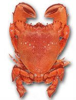 Spanner Crabs (Ranina ranina)