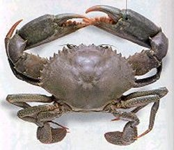 Mud Crab ( Scylla serrata )