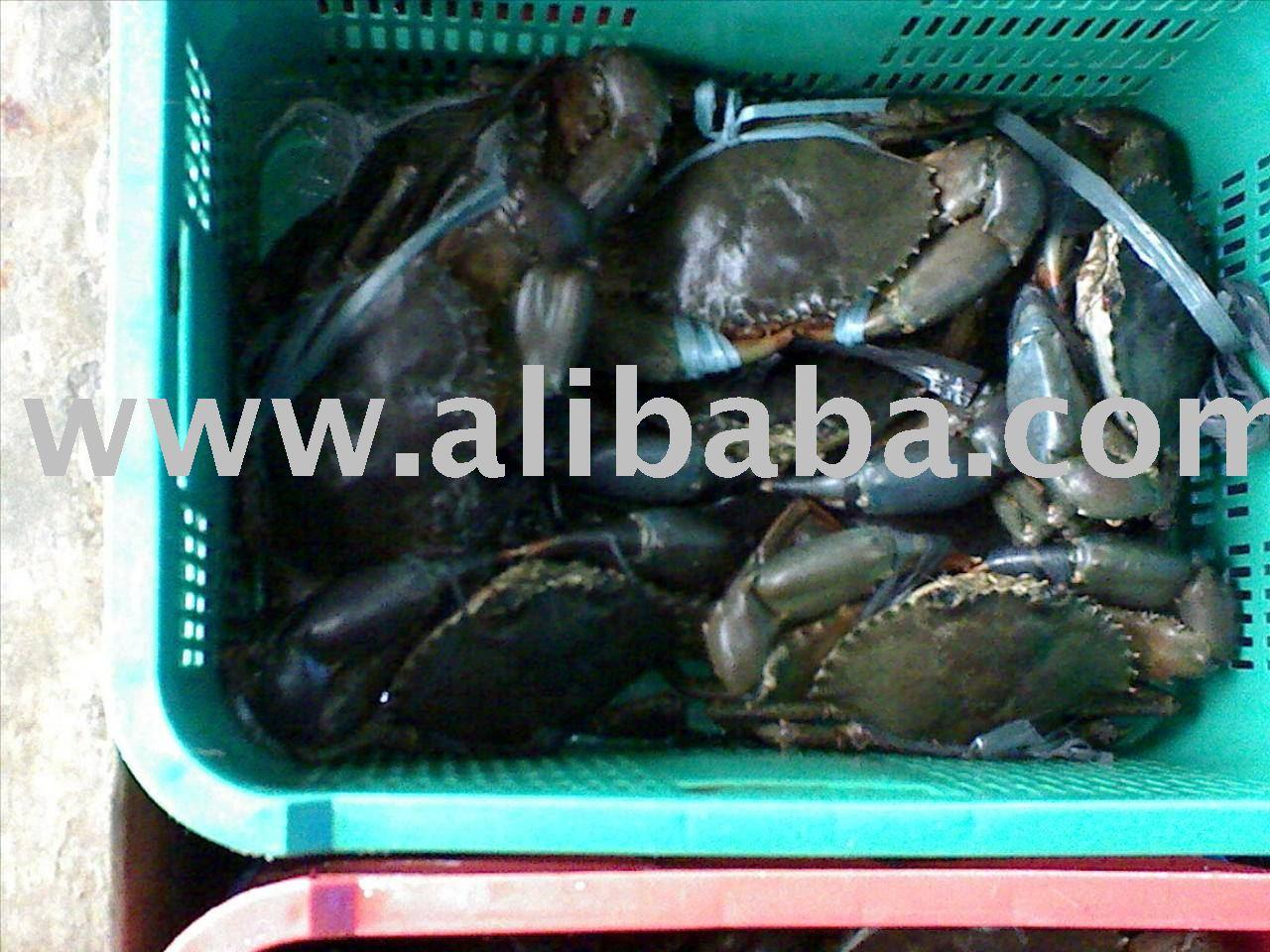 Live Scylla Serratta Crabs