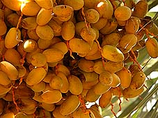Dates, Fruit