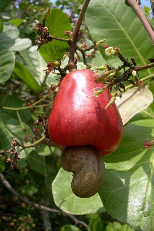 fresh cashew-fruit