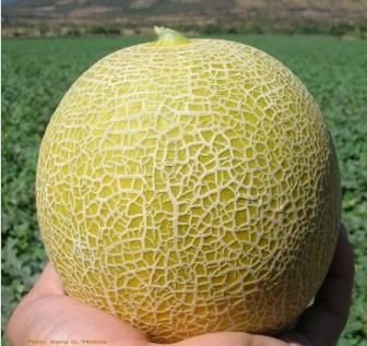 Fresh Cantaloupe Products Egypt Fresh Cantaloupe Supplier Vitamins, minerals and phytochemical components; 21food