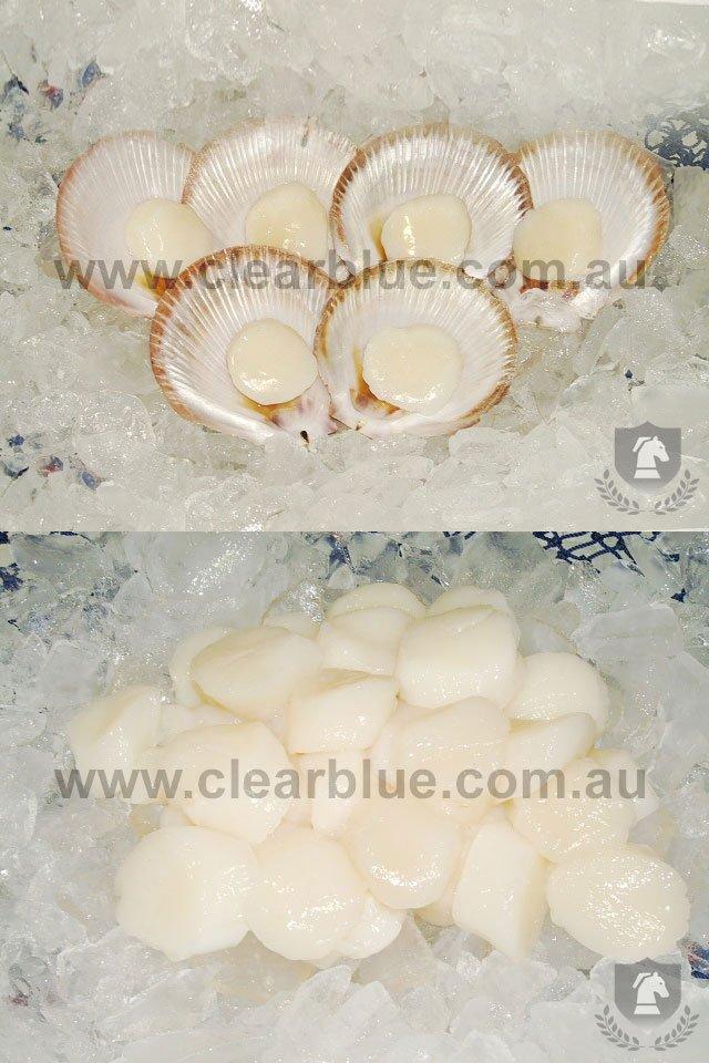 how to catch scallops in australia