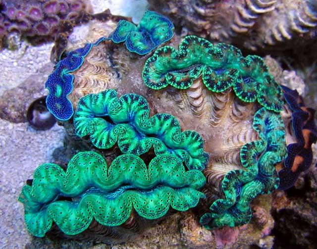 Tridacna crocea Clam products,Sri Lanka Tridacna crocea Clam supplier