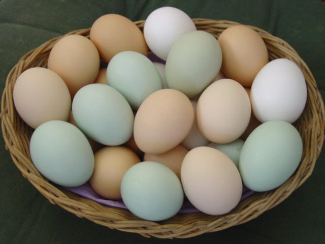 hatching eggs for sale products,Greece hatching eggs for sale supplier