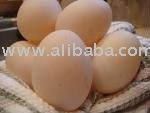 FRESH AND FERTILE DUCK EGGS
