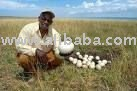Fresh Laid Ostrich Hatching Eggs