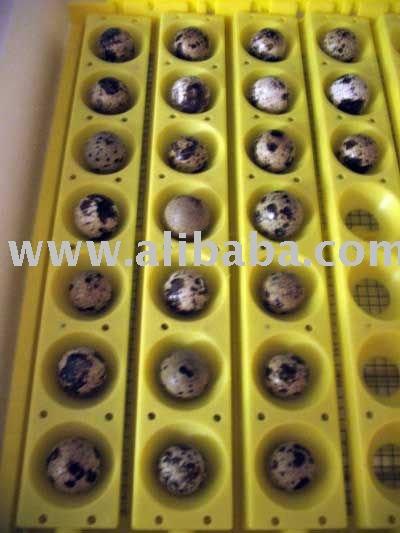 Fertile  Quail   Eggs  for  sale