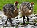 ostrich chicks and eggs