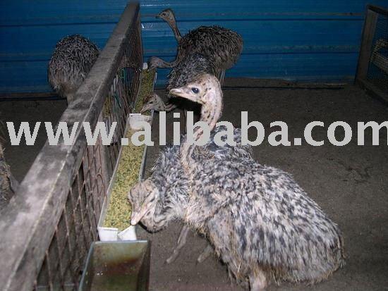 Ostrich and Ostrich Eggs