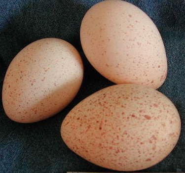 Hatching Turkey Eggs