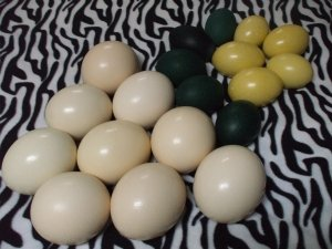 Fresh Ostrich, Emu and Rhea Eggs for Eating or Hatching for sale