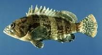 ikan kerapu harimau