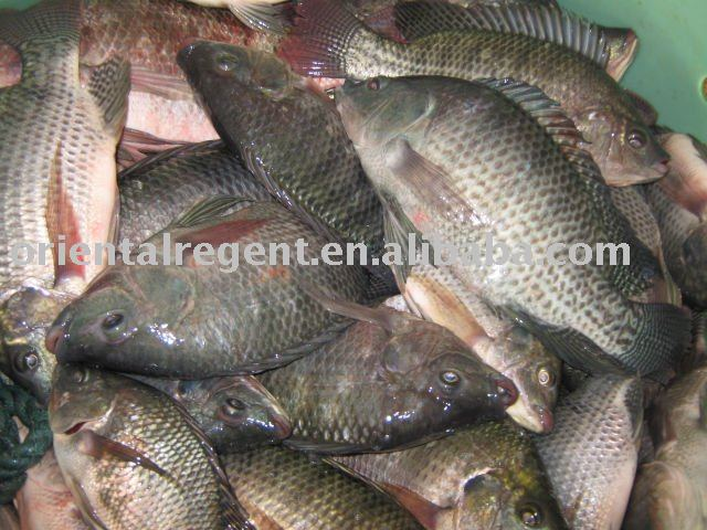 Tilapia fish products singapore tilapia fish supplier for What is tilapia fish