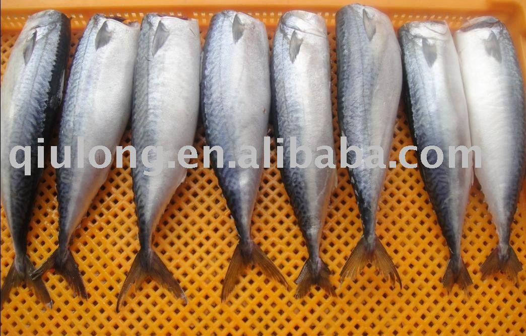 mackerel HG