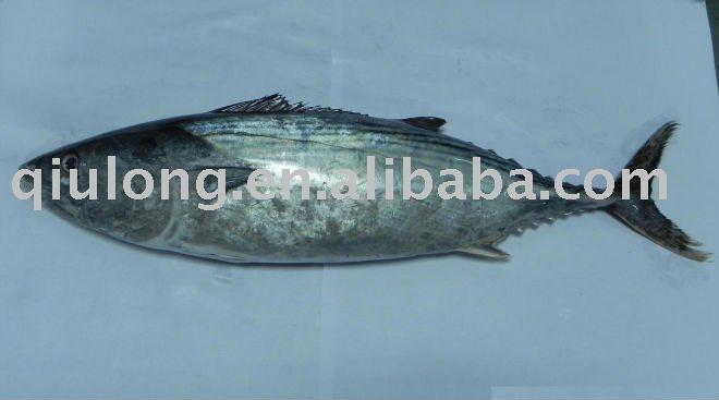 Eastern little tuna - photo#10