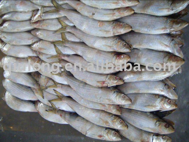 frozen  seafood ( WR sardine)