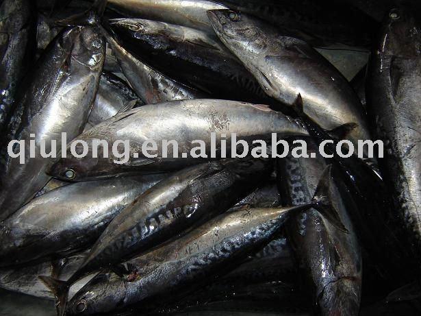 frozen seafood (bonito 300-500g)