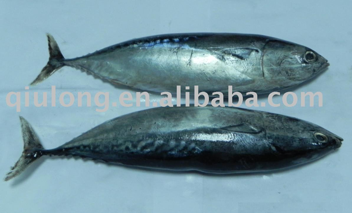 Frozen fish bonito products china frozen fish bonito for Best frozen fish to buy at grocery store
