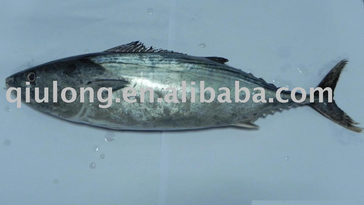 Eastern little tuna - photo#6