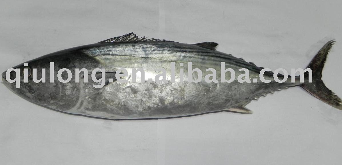 Eastern little tuna - photo#18
