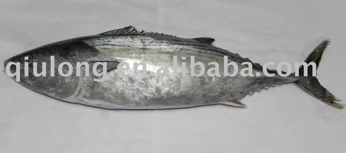 Eastern little tuna - photo#16