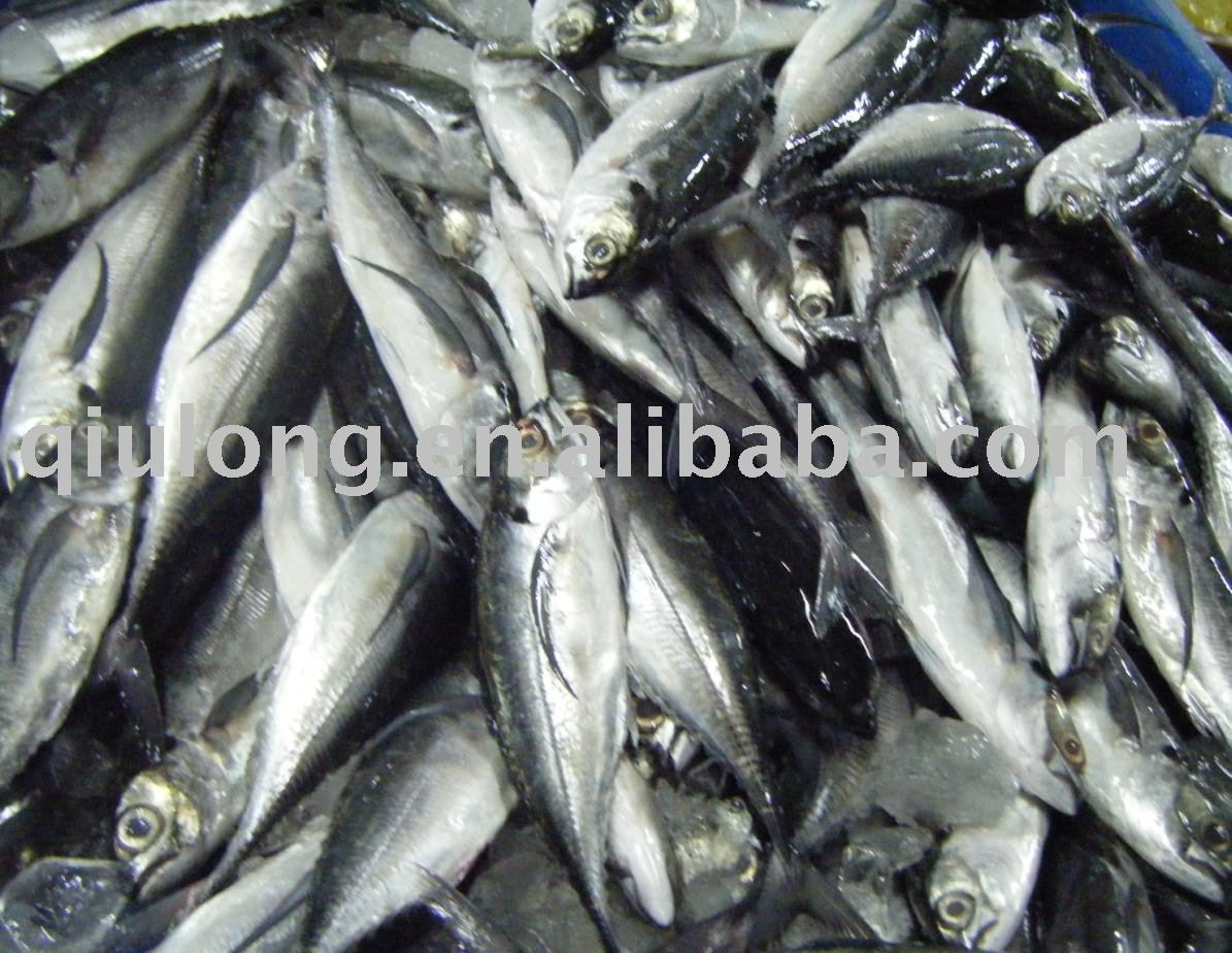 Frozen fish new mackerel products china frozen fish for Best frozen fish