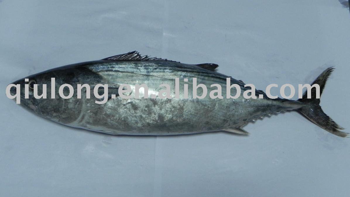 Eastern little tuna - photo#13