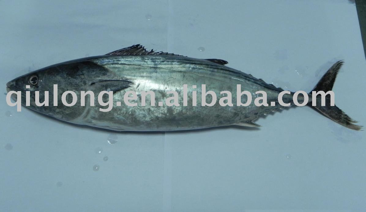 Eastern little tuna - photo#15