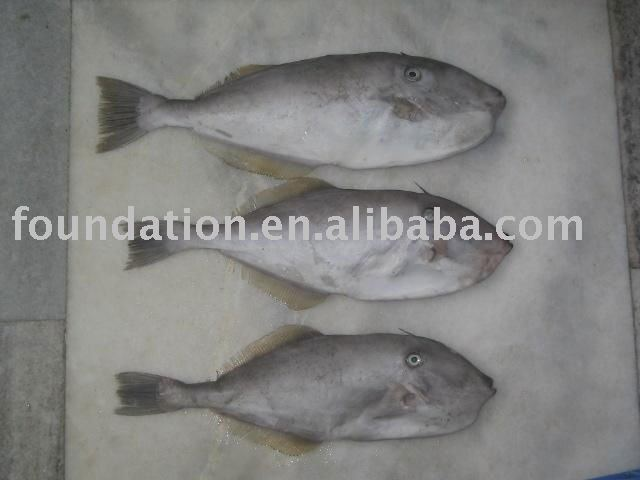 Leather jacket fish products china leather jacket fish for Leather jacket fish