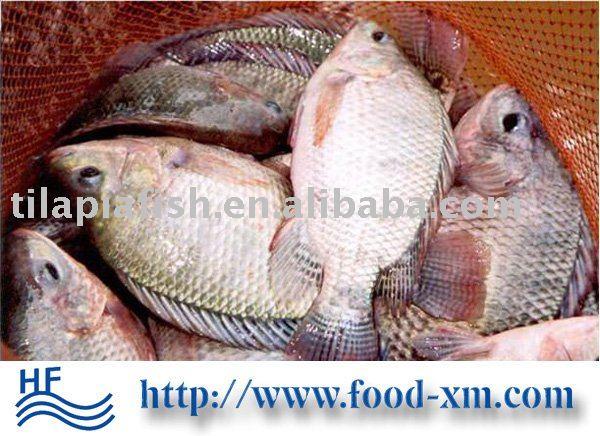 frozen tilapia seafood fish