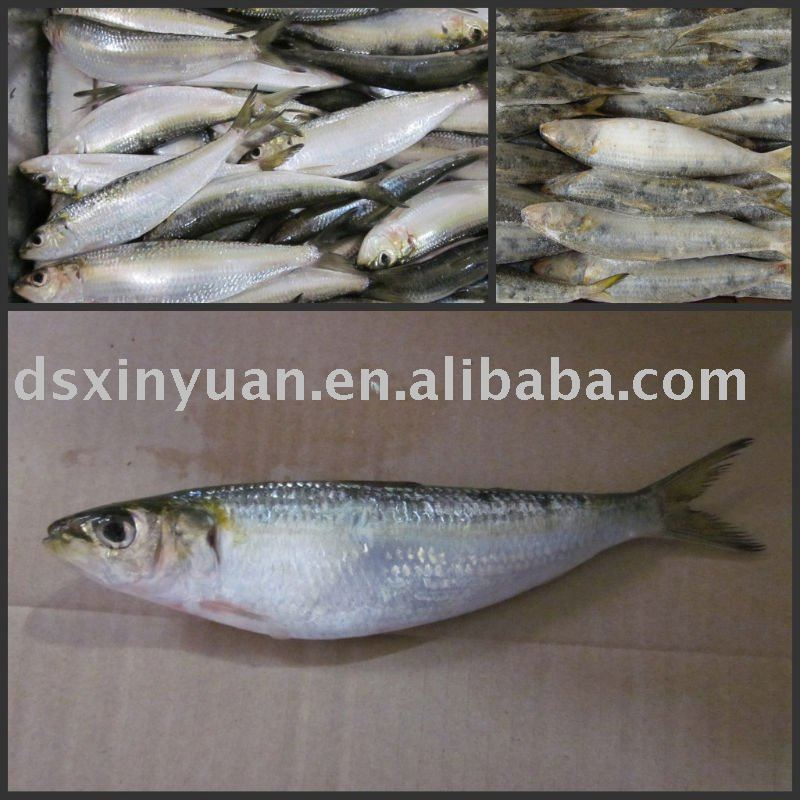 frozen seafood-sardine