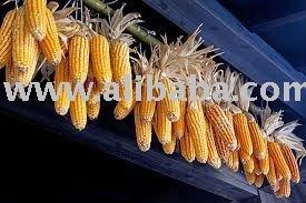 100% Dried corn use for pop corn