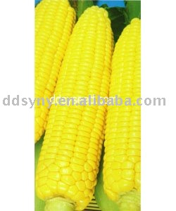 middle mature hybrids corn seed