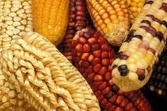 Fresh & Dried pure yellow & White Corn