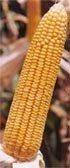 Hybrid yellow corn seed-KANAK