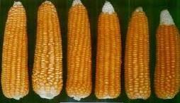 Glutinous Corn