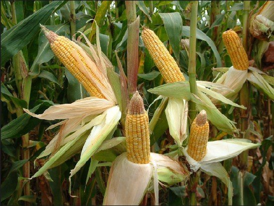 Yellow maize products south africa yellow maize supplier
