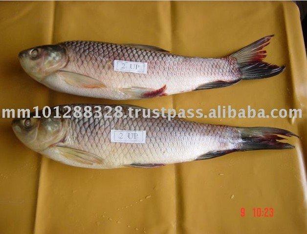 how to identify rohu fish