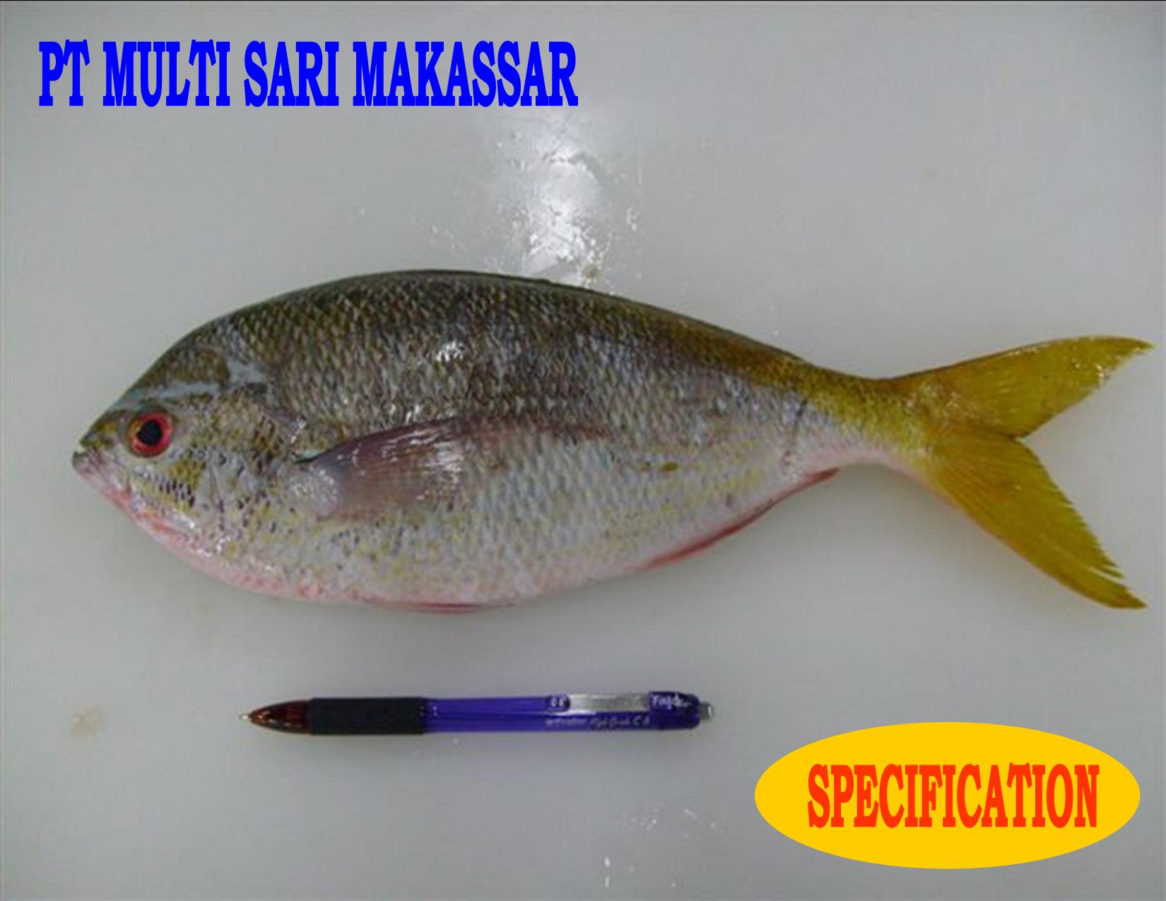 Yellow tail fish caesio cuning products indonesia yellow for Yellow tail fish