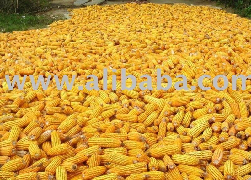 Yellow Corn For Feed Animal
