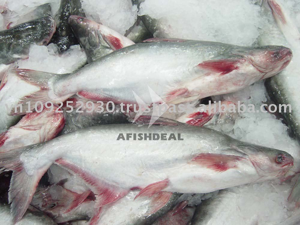Frozen pangasius basa catfish swai fish giant size for What is swai fish